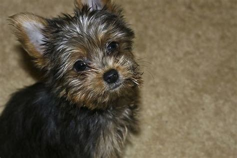 smallest yorkie on record a mini terrier named has just been named the world s smallest
