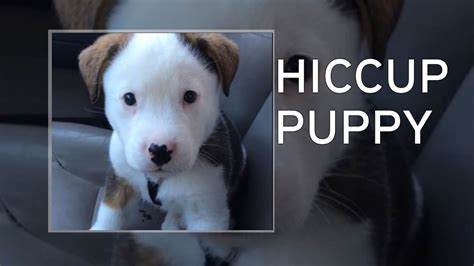 how to get rid of puppy hiccups adorable puppy gets spooked by his own hiccups then tries