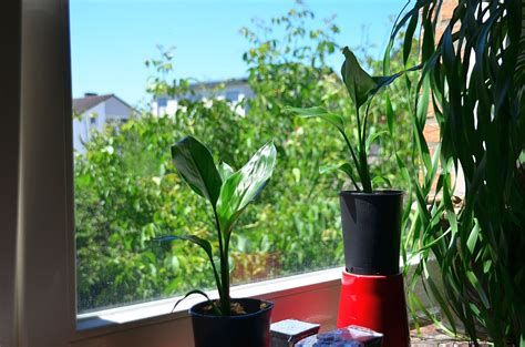 Yucca Palme Drau En 3170 by Palmen F 252 R Terrasse Palmen K Belpflanzen Usw F R Garten