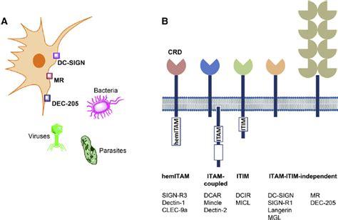pattern recognition receptors ncbi myeloid c type lectin receptors clrs in innate immunity