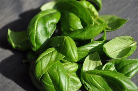 semina basilico in vaso semina basilico aromatiche seminare il basilico