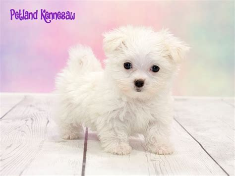 petland available puppies maltese for sale you seen our precious fluffballs petland kennesaw