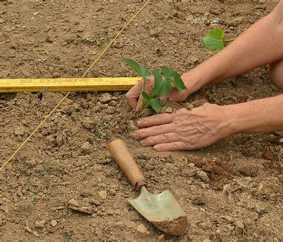Culture De La Patate Douce by Patate Douce Culture De La Patate Douce Jardinage Bio