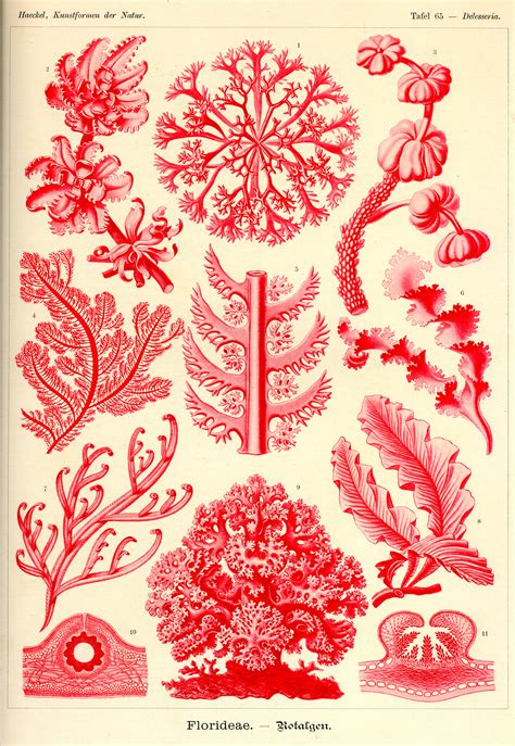 the and science of ernst haeckel multilingual edition books ernst haeckel kunstformen der natur tafel 65