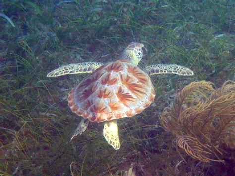 Sk Turtle sea turtle nem芻ok sk