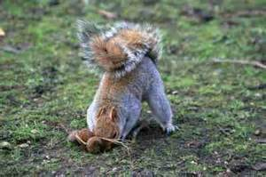 squirrel buries nut in it s a bird it s a plane it s squirrel gini s nature news