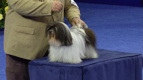havanese show dogs havanese puppies havanese show dogs havanese kennel havanese dogs pets world