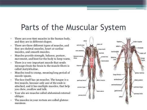 A Tour Of Your Muscular And Skeletal Systems organ systems of the human and their functions