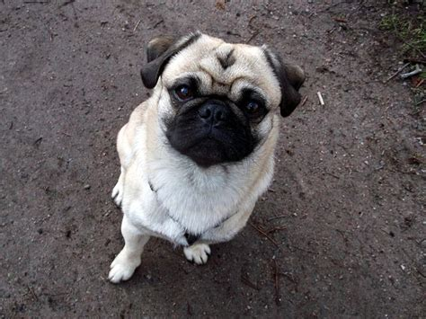 are pugs with children 8 best breeds for families with children iheartdogs