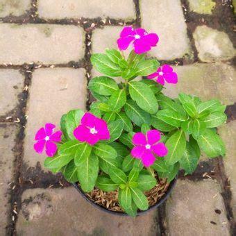 Pupuk Bunga Vinca jual tanaman tapak dara vinca shocking pink import tegak