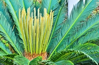 sago palm dogs the sago palm beautiful and deadly to your the dogington post