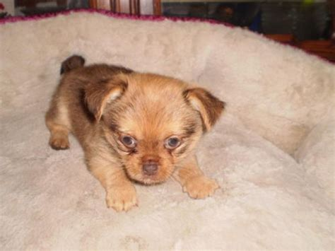 pekingese and yorkie mix yorkinese yorkie x pekingese mix info temperament puppies pictures