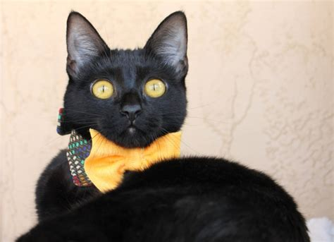 beautiful bow ties for curious cats styletails