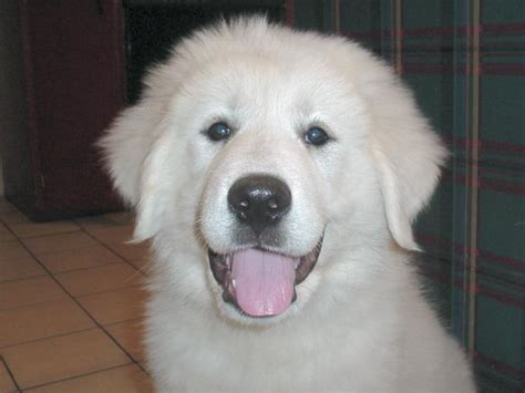 pictures of great pyrenees puppies graceful great pyrenees on great pyrenees great pyrenees puppy and great