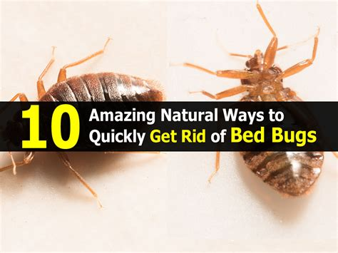 get rid of bed bugs 10 amazing natural ways to quickly get rid of bed bugs