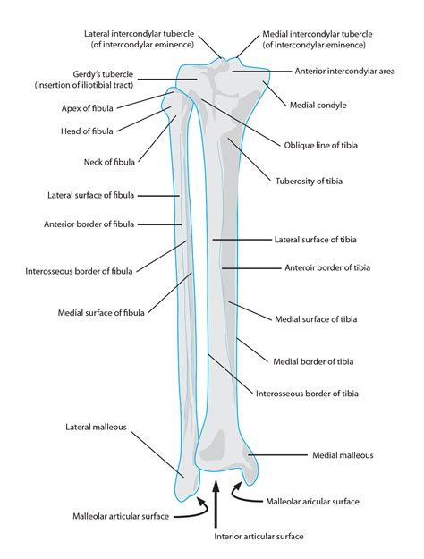 landmarks diagram tibia anatomy