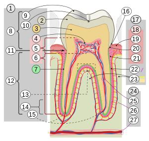 cross section of tooth crown tooth wikipedia
