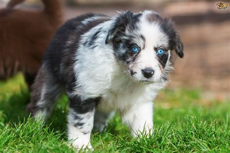 puppy eye color at what age do puppies develop their eye colour