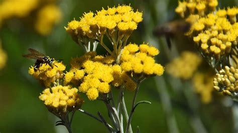 fiore elicriso elicriso helichrysum italicum aromatiche coltivare l