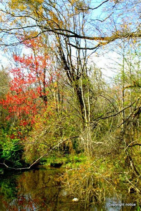 louisiana maple trees maple tree in small sw beau chene mandeville