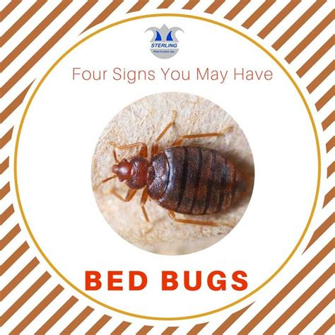 signs you have bed bugs 1000 ideas about bed bugs signs on pinterest bug trap