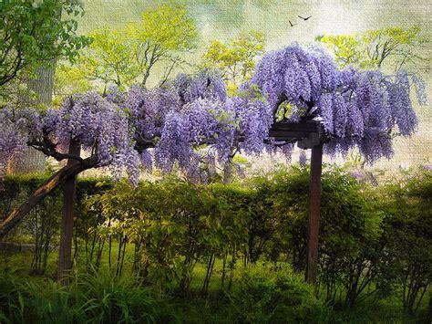 wisteria trellis 1000 images about wisteria trellis on