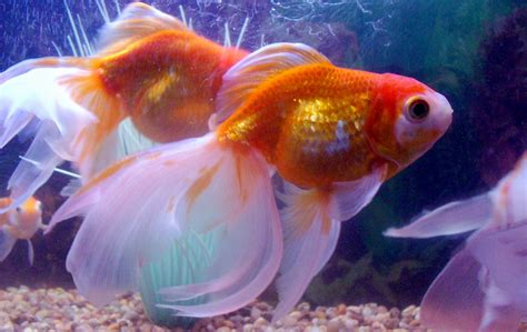 Is Fancy by Fancy Goldfish Of Sea