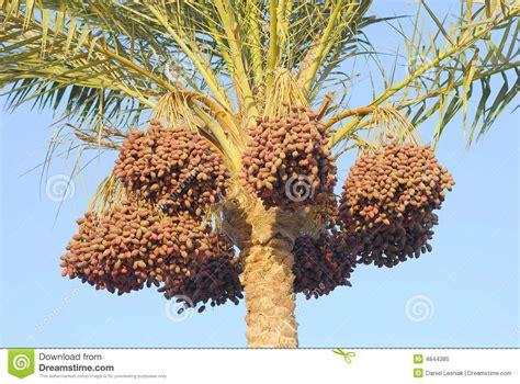 palmier avec des dattes photo libre de droits image 4844385