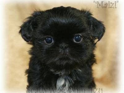 shih tzu black puppy black shih tzu puppy mozart cachorros mi y 193 ngel