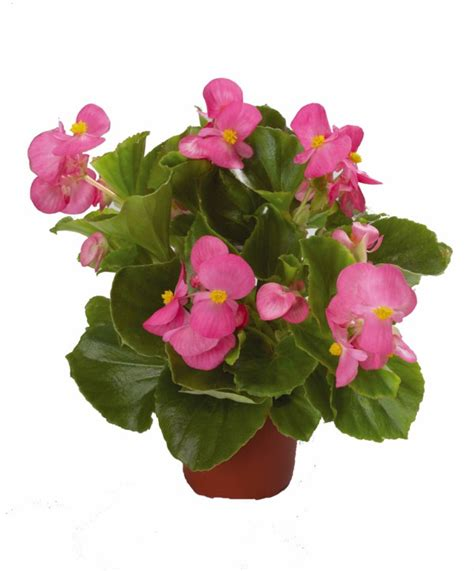 begonia care what the beautiful begonias need good to
