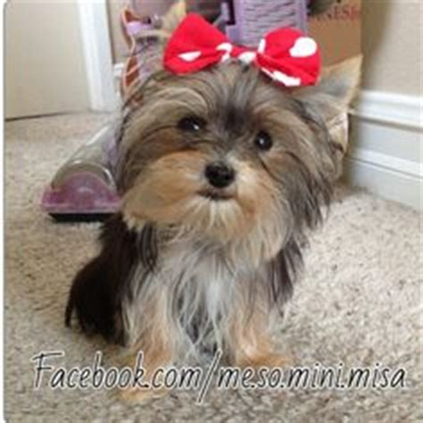misa minnie yorkie misa minnie on yorkie terrier and photos