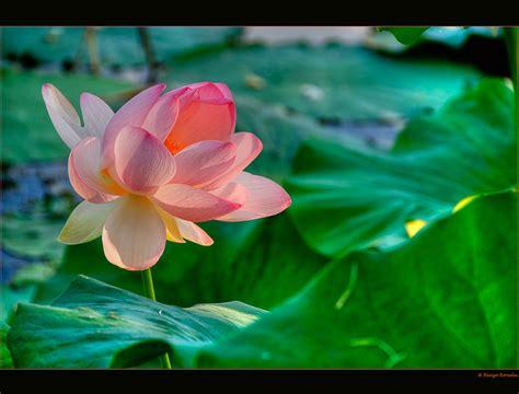 fior di loto foto fior di loto foto immagini piante fiori e funghi