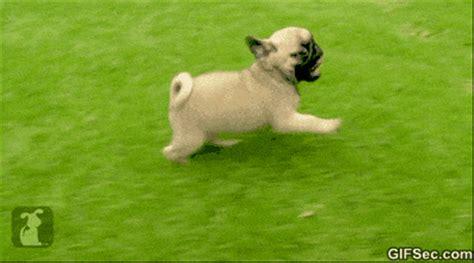happy birthday pug gif pug memes