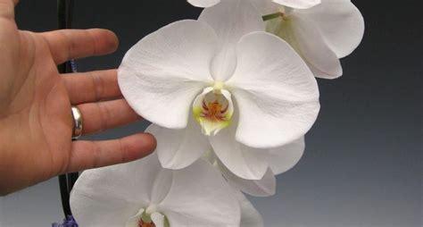 quanto bagnare le orchidee coltivare orchidee orchidee come coltivare le orchidee