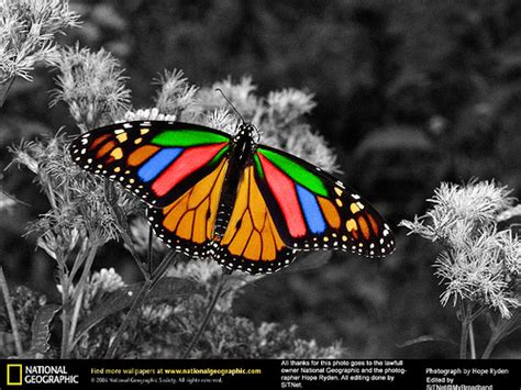 monarch color monarch butterfly color this is a photo taken by