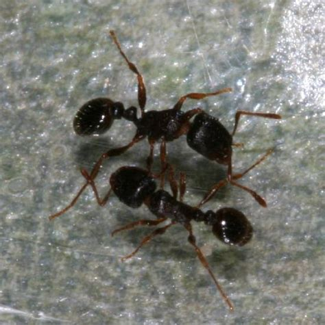 tiny house ants tiny indoor ants pavement ants the backyard arthropod