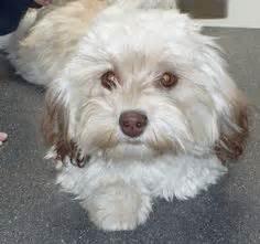 havanese grooming styles hair havanese puppies breeds picture