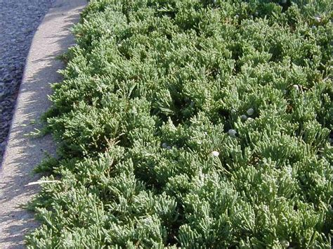 blue rug juniper beautiful evergreen ground cover year
