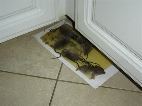 How To Stop Rats Coming Into Garden by Rat Removal Wildlife Removal Services Of South Florida
