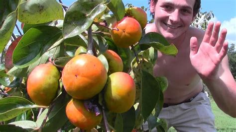 persimmon fruit tree for sale fuyu persimmon tree grafted japanese persimmon