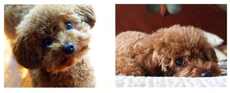 chi poodle lifespan chihuahua poodle care photo