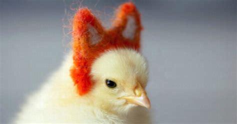 chicken costumes    coop ready  halloween