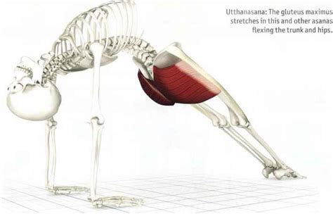 key muscles of yoga gluteus maximus glooteus maksimus yoga key muscles