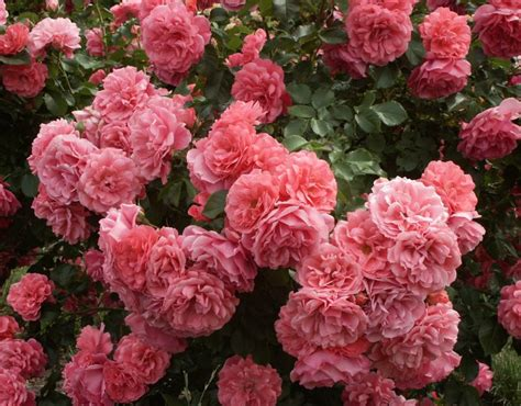 Planting A Garden In The Fall - rosarium uetersen rose red climber rose