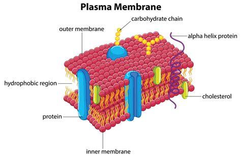 functions   plasma membrane