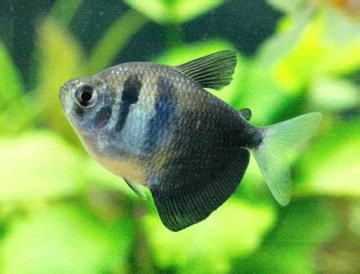 Jual Lu Neon Hias informasi seputar ikan hias jenis ikan hias air tawar
