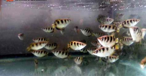 arafah aquarium jual ikan hias air payau kerapu
