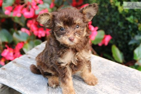 yorkie poo puppies louisville ky yorkie poo in louisville kentucky breeds picture breeds picture