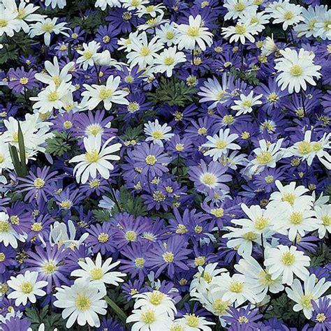 botanical name anemone blanda ah nem oh nee blan dah