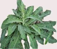 Obat Herbal Tempuyung manfaat daun tempuyung untuk obat tradisional batu ginjal